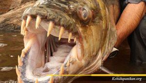 Ikan Goliath Tiger Fish