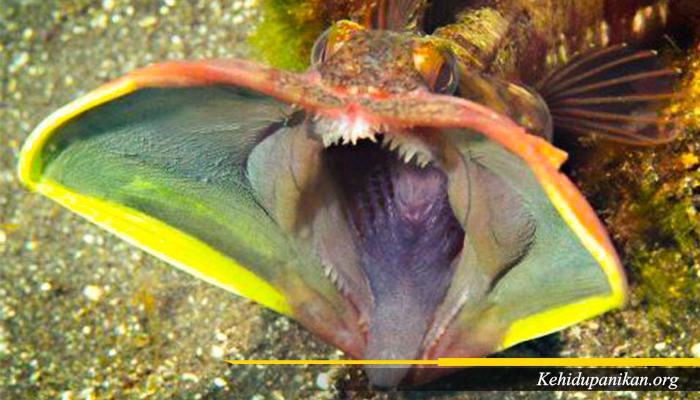 Ikan Sarcastic Fringehead