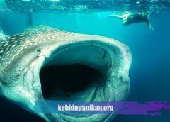 Ikan Laut Dalam Hiu Megamouth
