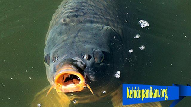 Kadar CO2 Yang Terlalu Tinggi Dapat Bahayakan Ikan