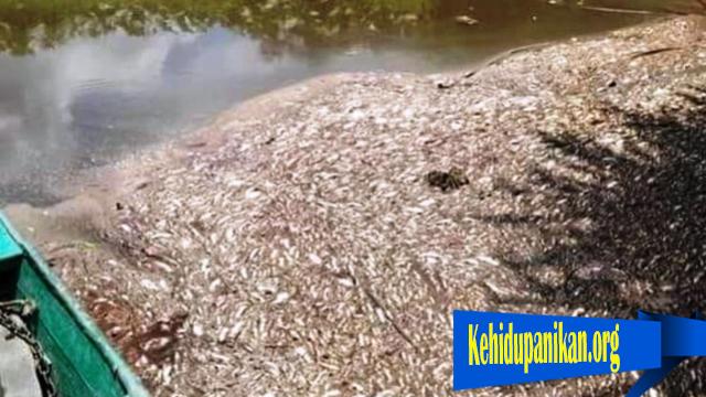 Ribuan Ikan Mati Di Aliran Sungai Seranau