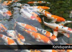 Beberapa Fakta Menarik Dari Ikan Koi