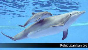 Fakta Lumba Lumba yang Mungkin Belum Kamu Ketahui