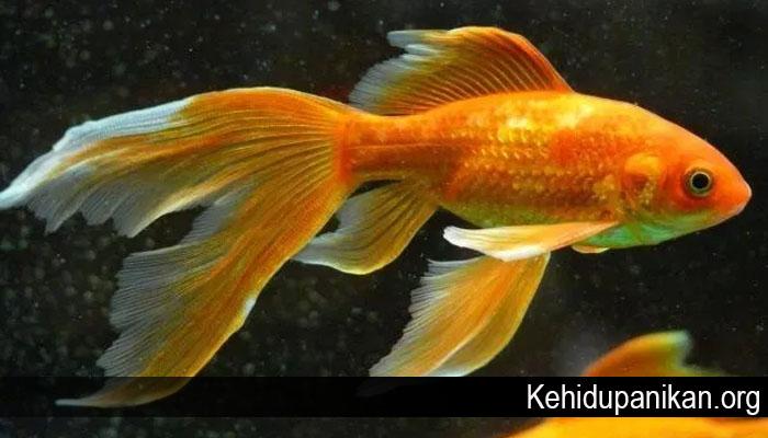 Ikan Hias Air Tawar Termahal di Dunia