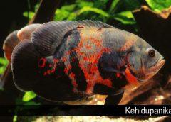 Jenis Ikan Hias Air Tawar yang Tidak Biasa untuk Dipelihara
