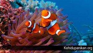 Fakta Menarik Mengenai Ikan Badut