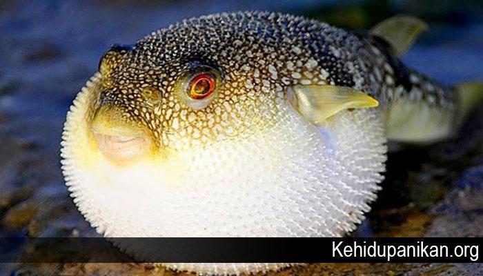 Fakta Unik Dari Ikan Buntal
