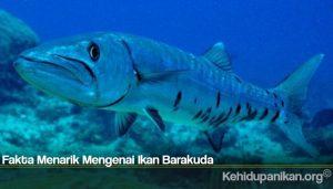 Fakta Menarik Mengenai Ikan Barakuda