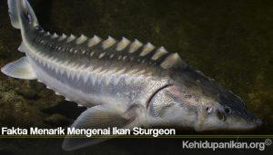 Fakta Menarik Mengenai Ikan Sturgeon
