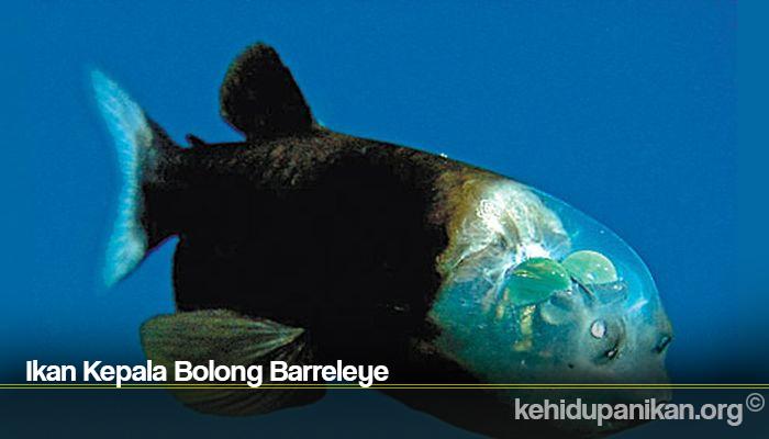 Ikan Kepala Bolong Barreleye