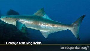 Budidaya Ikan King Kobia