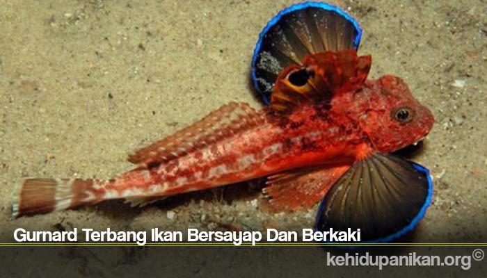 Gurnard Terbang Ikan Bersayap Dan Berkaki