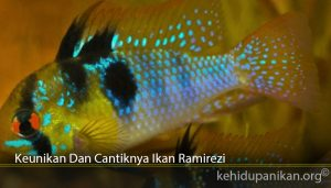 Keunikan Dan Cantiknya Ikan Ramirezi