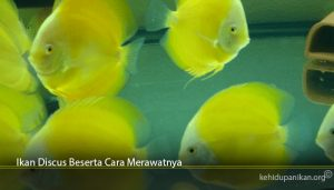 Ikan Discus Beserta Cara Merawatnya