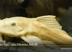 Ikan Sapu Sapu Dikoleksi Jadi OB