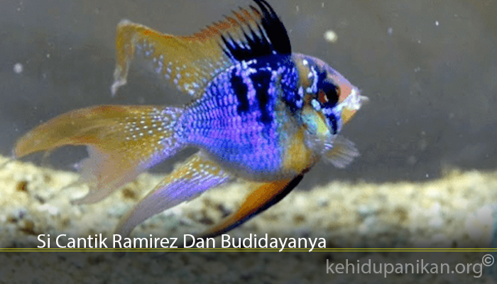 Si Cantik Ramirez Dan Budidayanya