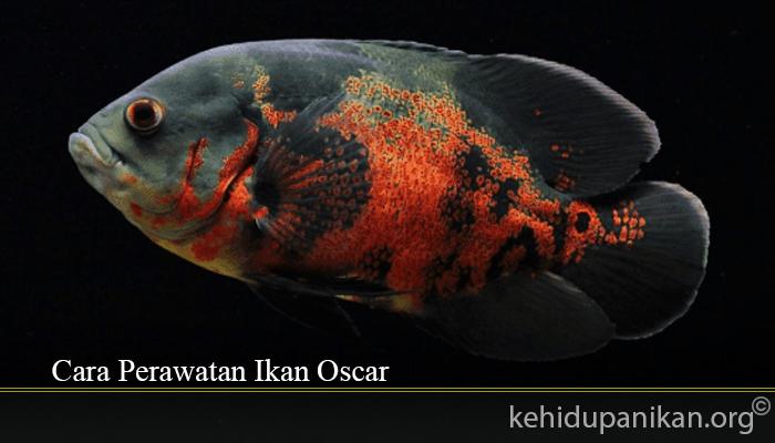 Cara Perawatan Ikan Oscar
