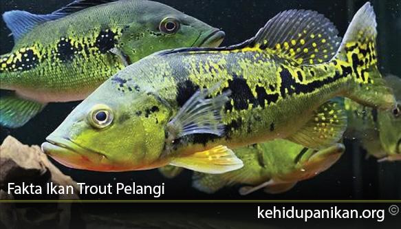 Fakta Ikan Trout Pelangi