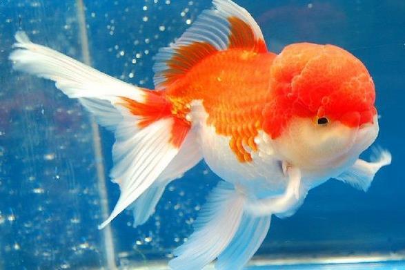 Jenis Ikan Mas Terbagus Dan Tercantik Jenis Kehidupan Ikan