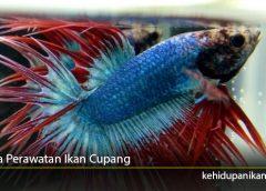 Cara Perawatan Ikan Cupang