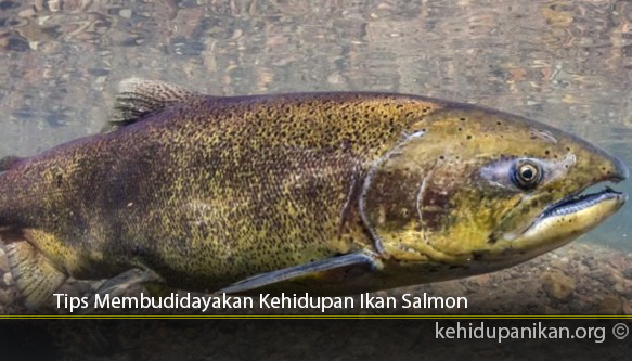 Tips-Membudidayakan-Kehidupan-Ikan-Salmon