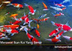 Tips Merawat Ikan Koi Yang Benar