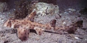 ikan-hiu-horn-shark