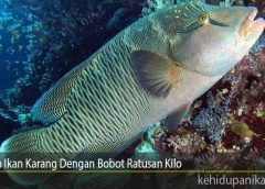 Fakta Ikan Karang Dengan Bobot Ratusan Kilo