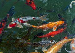 Jenis-Jenis Ikan Koi