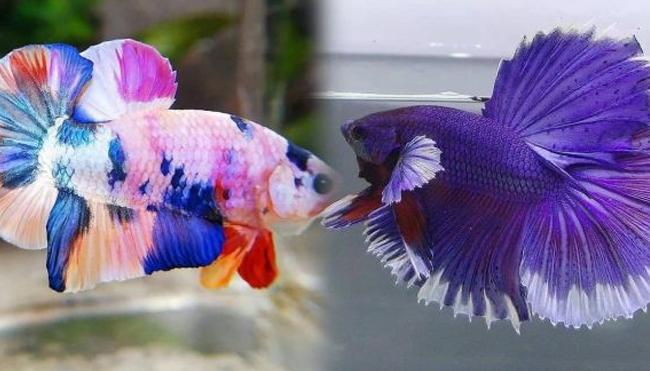 Jenis Ikan Cupang Termahal