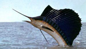 Jenis Ikan Tercepat di Lautan