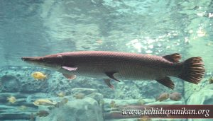 kehidupan ikan Aligator gar
