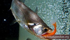 kehidupan ikan Payara