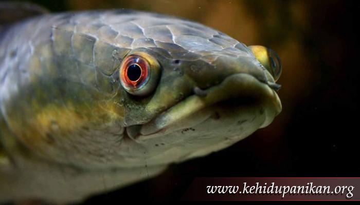 kehidupan ikan kepala ular