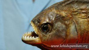 kehidupan ikan piranha