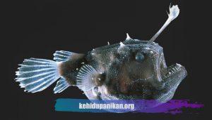 Ikan Laut Dalam Anglerfish