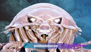 Ikan Laut Dalam Isopod Raksasa