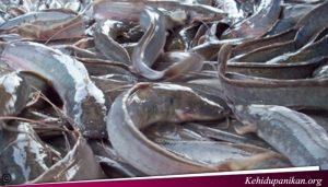 Ikan Lele Tumbuh Besar Dengan Makanan Ini