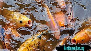 Tips Budidaya Ikan Mas Bagi Pemula