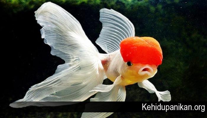 Jenis Ikan Hias Yang Bisa Kamu Pelihara