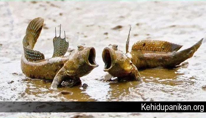 Jenis Ikan yang Dapat Hidup di Darat