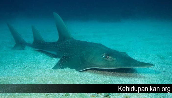 Fakta Menarik Dari Ikan Whitespotted Wedgefish