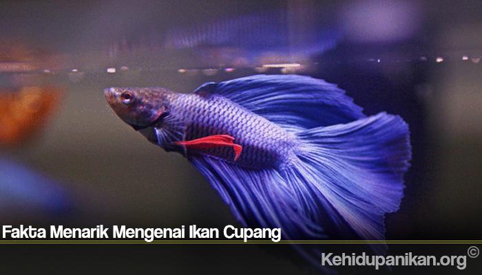 Fakta Menarik Mengenai Ikan Cupang