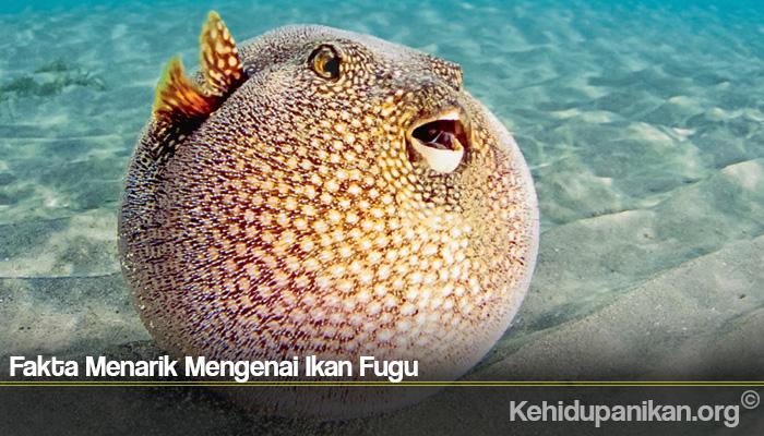 Fakta Menarik Mengenai Ikan Fugu