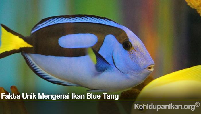 Fakta Unik Mengenai Ikan Blue Tang