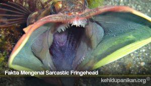 Fakta Mengenai Sarcastic Fringehead