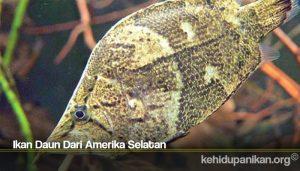 Ikan Daun Dari Amerika Selatan