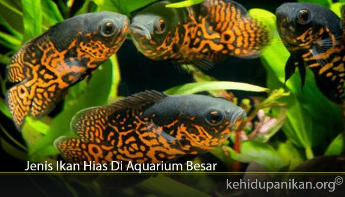 Jenis Ikan Hias Di Aquarium Besar