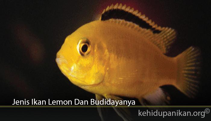 Jenis Ikan Lemon Dan Budidayanya
