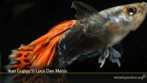Ikan Guppy Si Lucu Dan Manis
